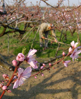 包近の桃畑